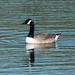 Canada Goose  8