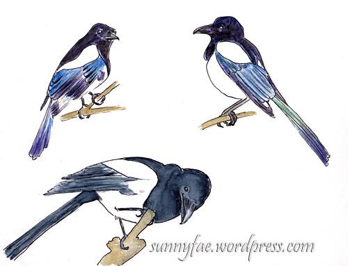 magpie sketches