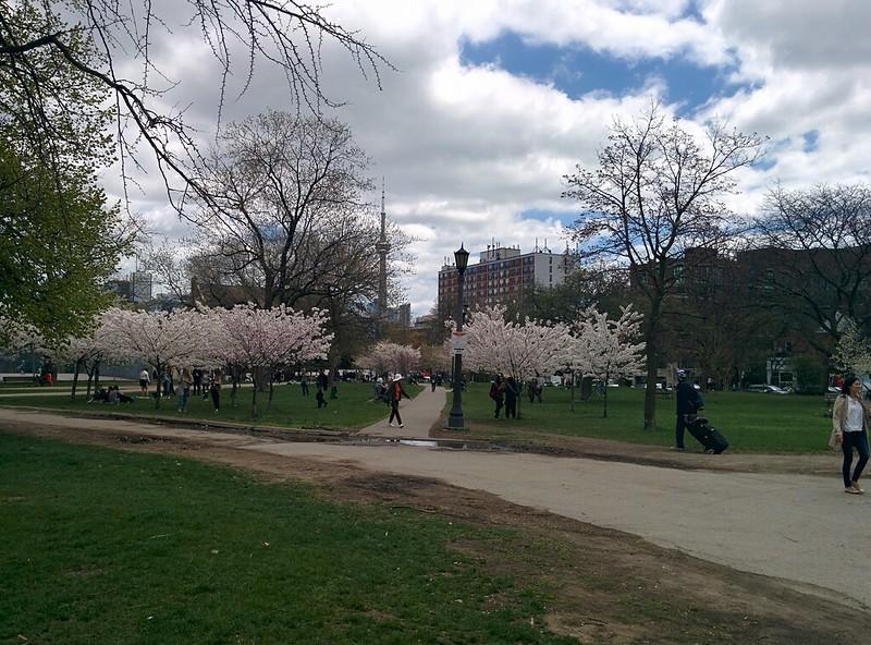 Sakura of Trinity Bellwoods (2) #toronto #trinitybellwoods #parks #cherryblossom #sakura #latergram