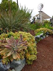 Dry Garden w/ Graptoveria 'Fred Ives & Sedum x adolphii