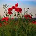 Poppy Field (089A6918-2)