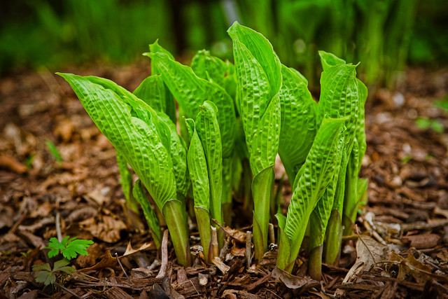 Hosta:  Up For Another Year