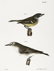 78. The White-eyed Greenlet (Vireo noveboracensis) 79. The Red-eyed Greenlet (Vireo olivaceus) illustration from Zoology of New york (1842 - 1844) by James Ellsworth De Kay (1792-1851).