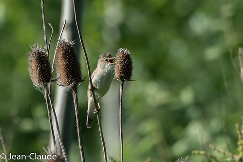 Acrocephalus scirpaceus - Reed Warbler