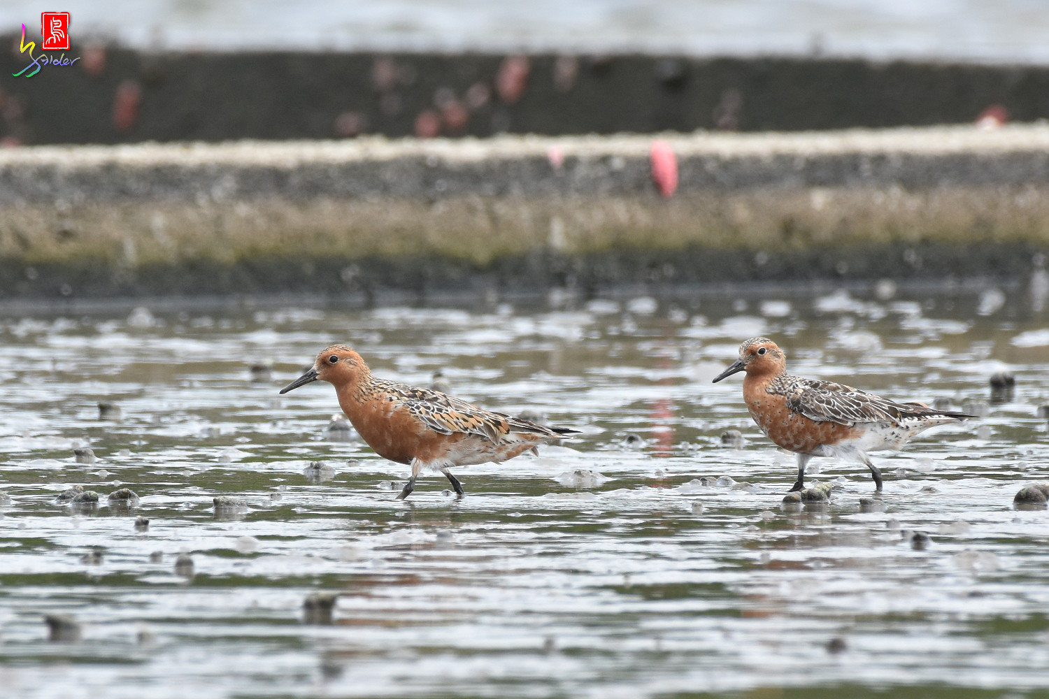 Red_Knot_0026