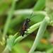 Sawfly --- Macrophya annulata