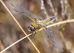 HolderFour-spotted chaser