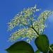 D18217.  Elderflower Buds.
