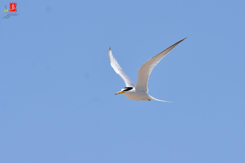 Little_Tern_9270