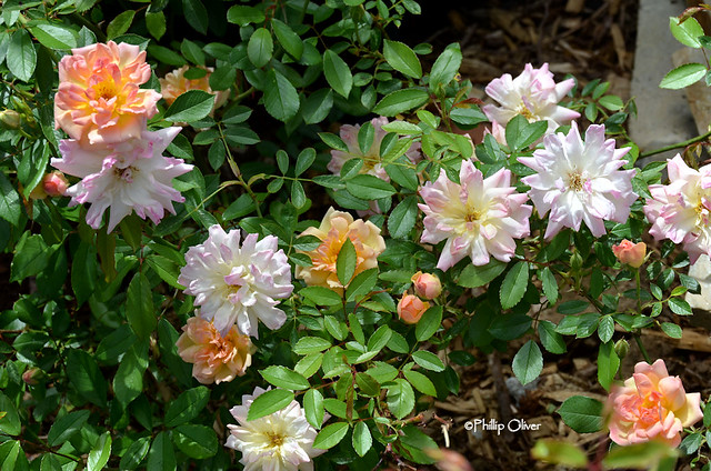 rose-phyllis-bide