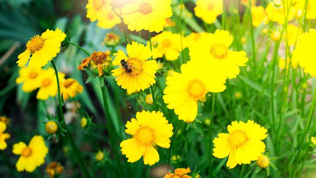 A bee on yellow daisy flower, in garden
