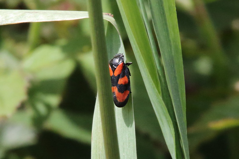 Red & Black Froghopper (Cercopis vulnerata)