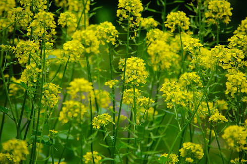 Dyer's woad flowering