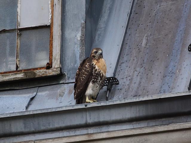 GT Hawk Fledgling 2 - 0921