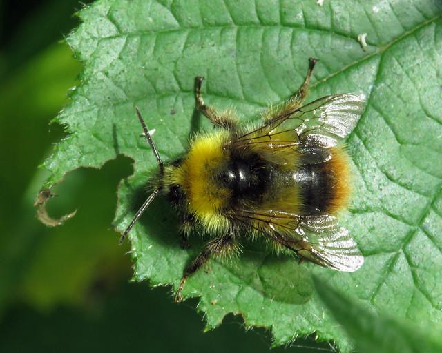 Early Bumblebee - Bombus pratorum