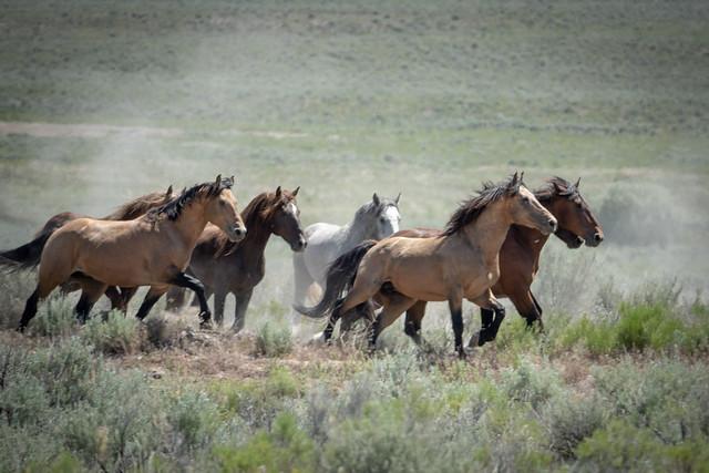 Wild Horse and Burro_Sands Basin Herd Management Area