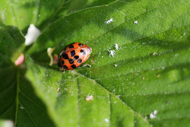 Harlequin Ladybird and Aphid husks