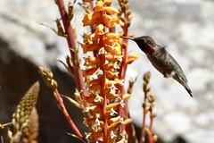 Anna's Hummingbird, Stinson Beach