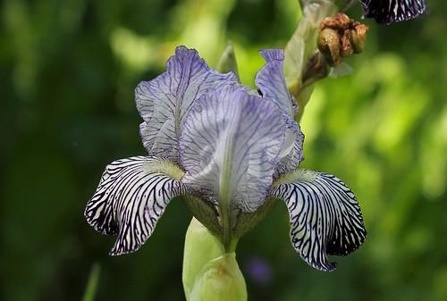reginae - Iris variegata var. reginae (= Iris reginae) - Horvat 1947 42690833981_73e541f45e