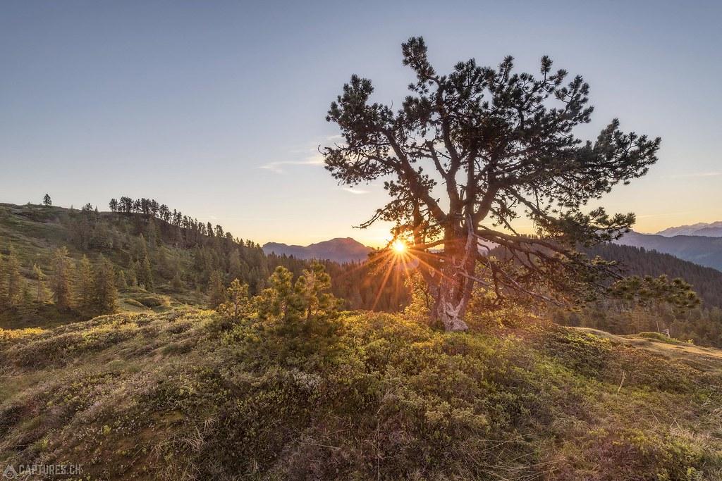 Tree - Niederhorn