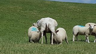 Sheeps on the dike