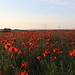Poppies and Pylons