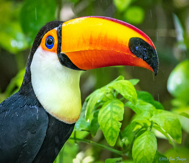 Toco Toucan (Ramphastos toco) in the Parker Aviary at the San Diego Zoo