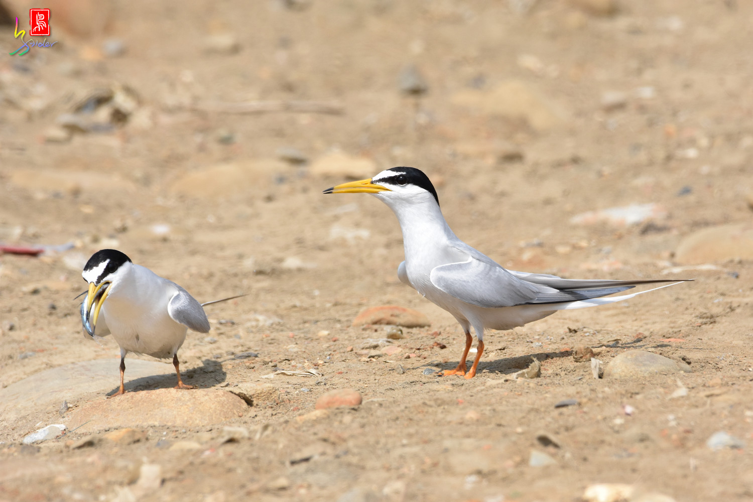 Little_Tern_9898