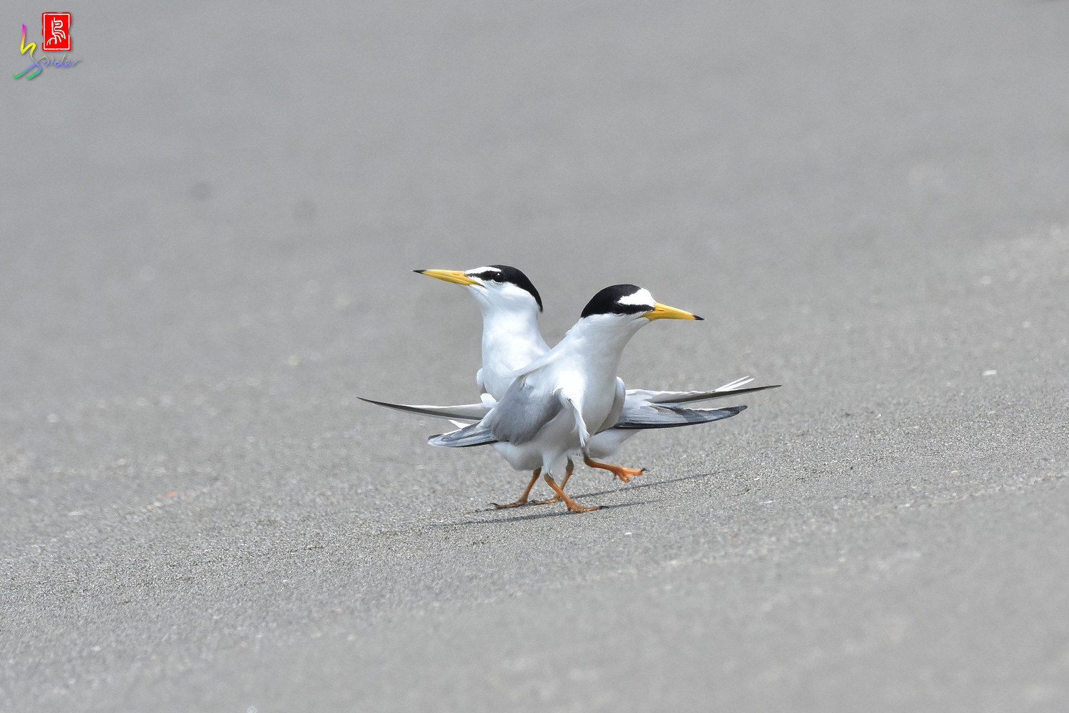 Little_Tern_8890