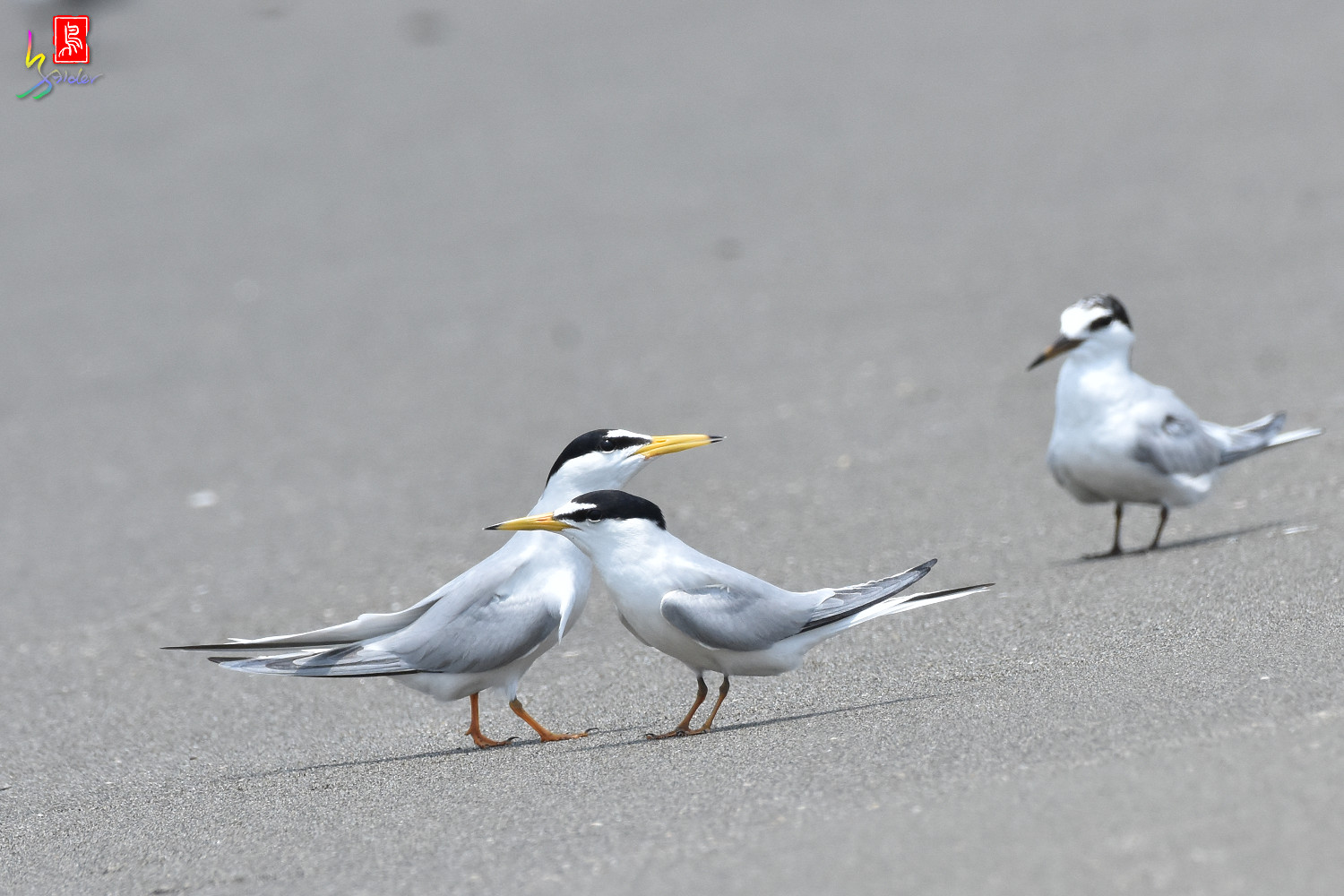 Little_Tern_8871