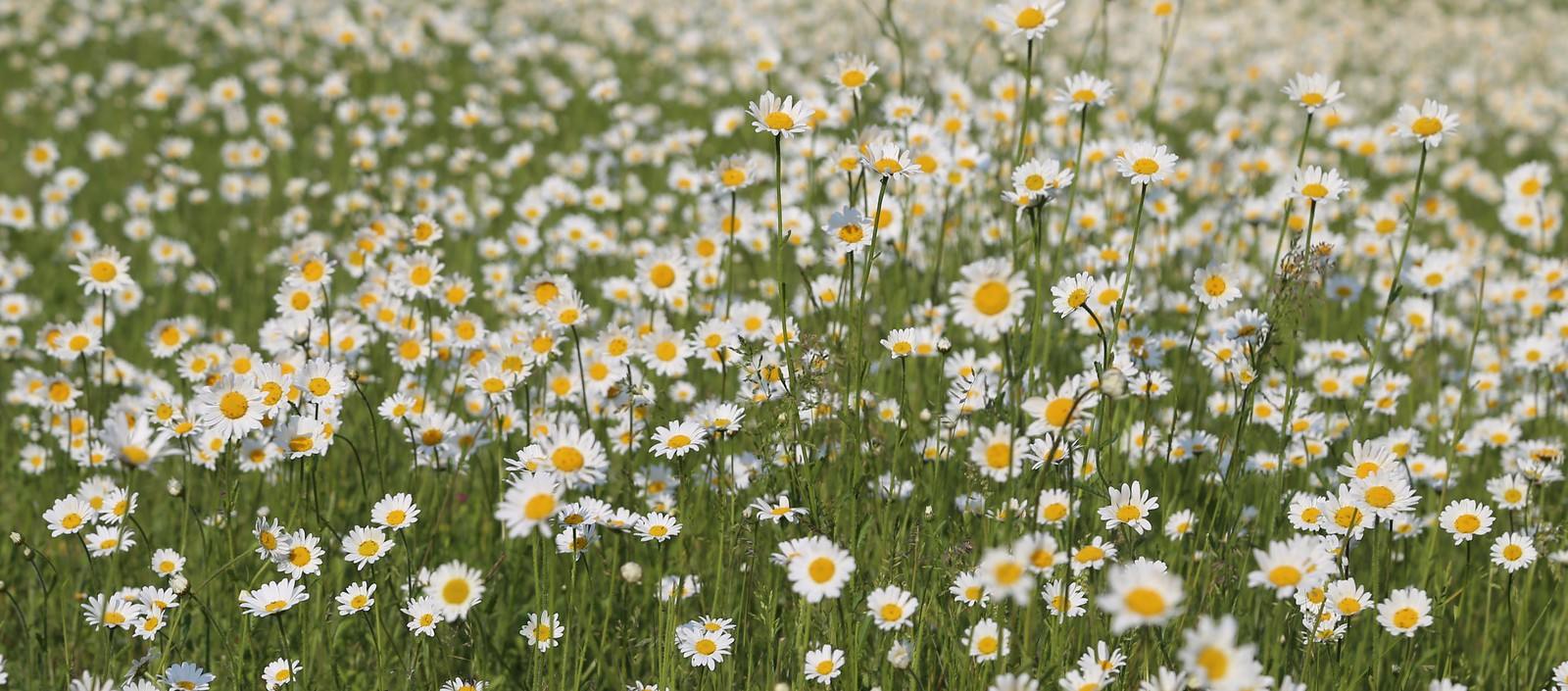 Ox-Eye Daisies - Otford to Eynsford Walk