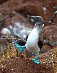 Iconic Blue-footed Booby dancing