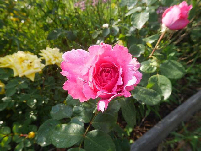 les jardins sont beaux en mai ! - Page 5 28551249738_6f02163136_z