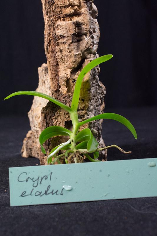 Orchideen-Neuzugang 2 - Seite 3 28680021848_84076ba185_c