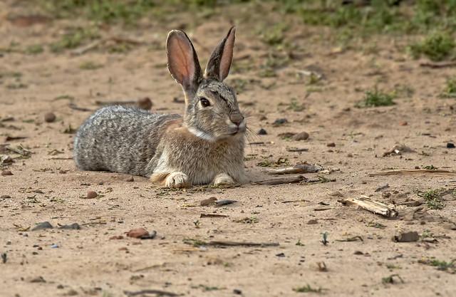 Rabbit-12-7D2-060618