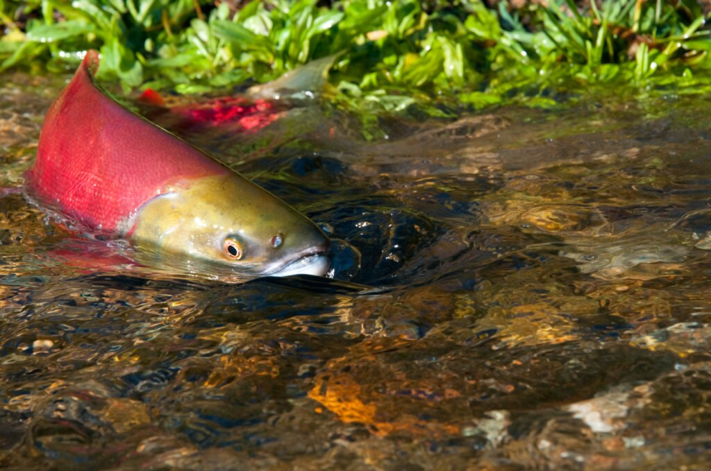 a629ca44b51e Wild salmon protection driving newly appointed Wild Salmon Advisory Council