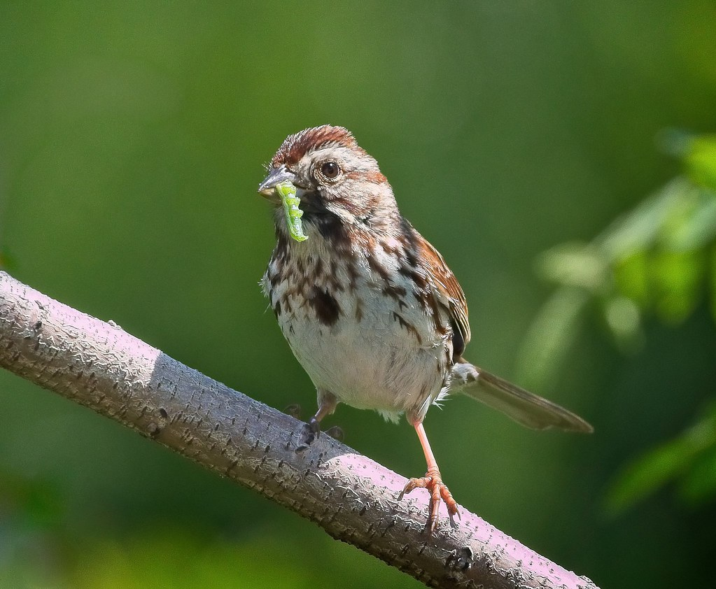 Song sparrow with a caterpillar
