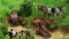 A Humble Giant Elephant Saved By Humbled People