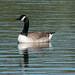 Canada Goose  6