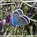 Silver-studded Blue (Plebejus argus). Male, on heather flower, with upper and hindwing showing in very hot weather.