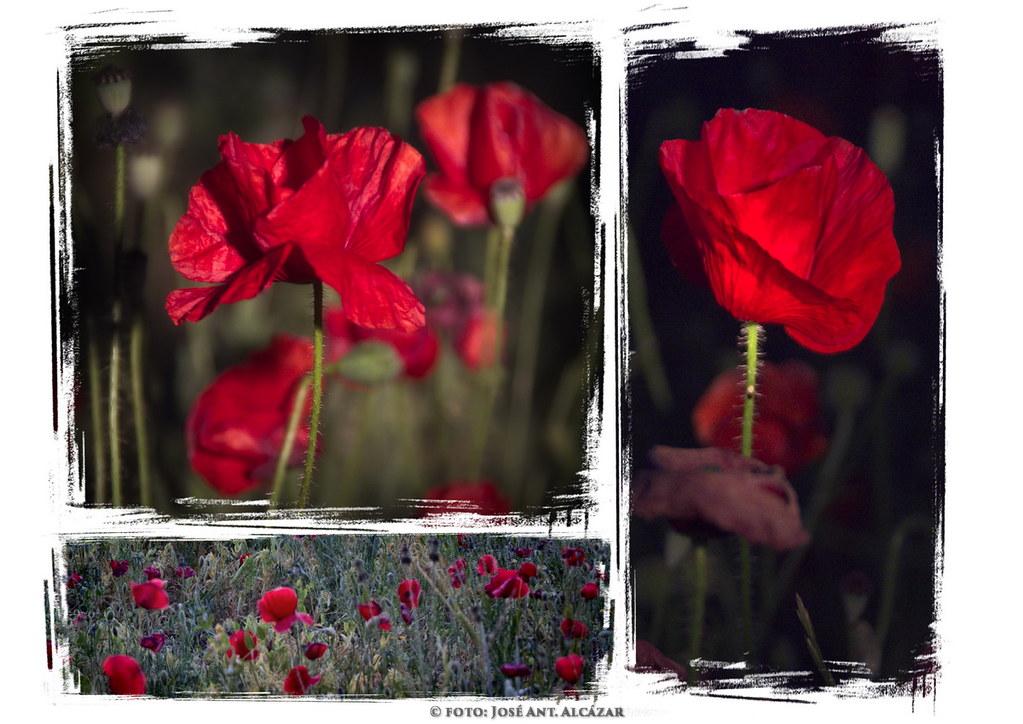 serie de tres fotos de amapolas en la noche