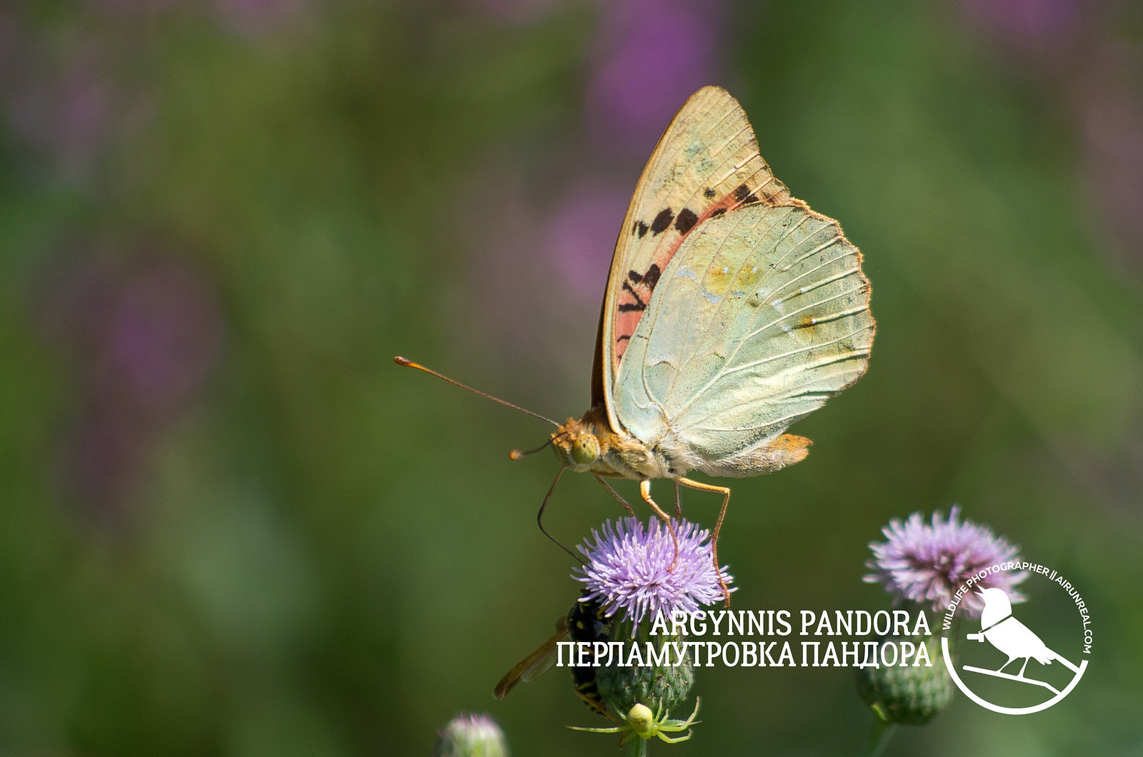 Argynnis pandora // 20180530
