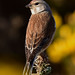 linnet 13 2018 male