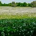 A field full of white dandelion heads