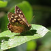 IMG_1369 Speckled Wood