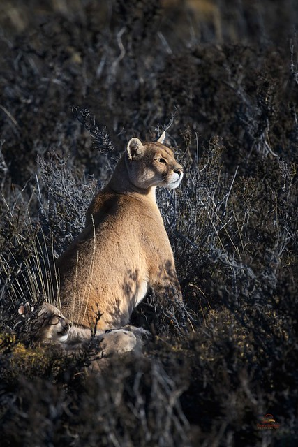 Alert Mother Puma with Cubs