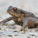 Common Toad (Bufo Bufo) by The Rustic Frog
