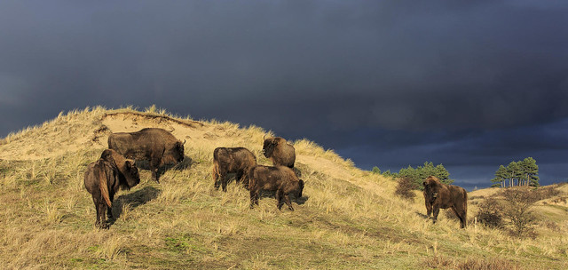 bison on dune