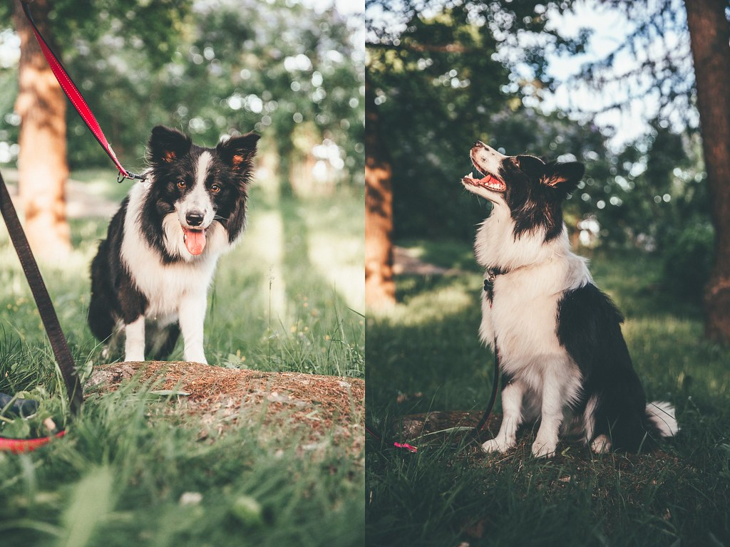 bordercollie australianpaimenkoira-5-side