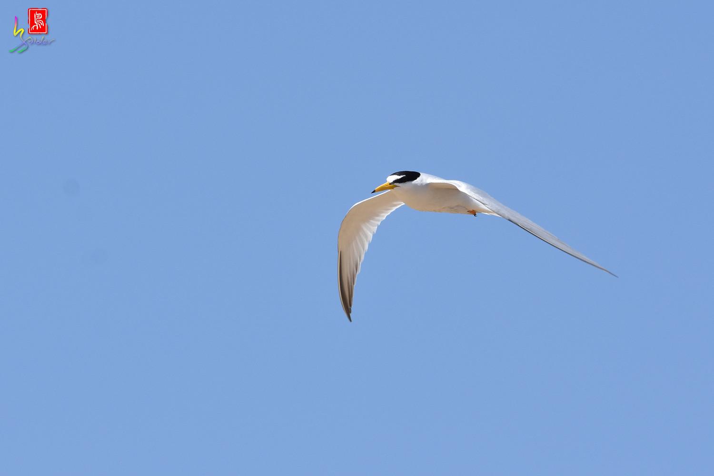 Little_Tern_9271